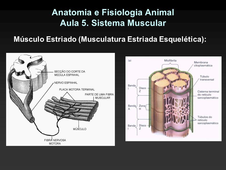 Anatomia e Fisiologia Animal Aula 5. Sistema Muscular Músculo Estriado (Musculatura Estriada Esquelética):