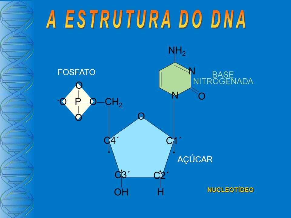 FOSFATO - O P O CH 2 O O-O- C1´ C2´ C3´ C4´ O OH H N N ONH 2 AÇÚCAR BASE NITROGENADA NUCLEOTÍDEO