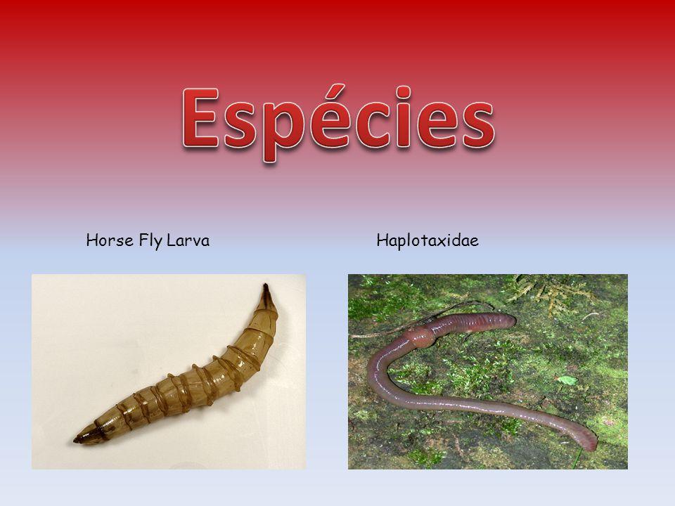 Horse Fly LarvaHaplotaxidae