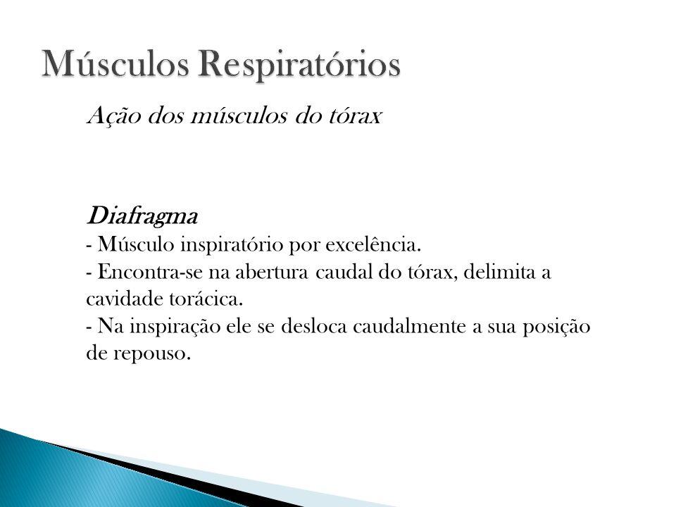 Diafragma - Músculo inspiratório por excelência. - Encontra-se na abertura caudal do tórax, delimita a cavidade torácica. - Na inspiração ele se deslo