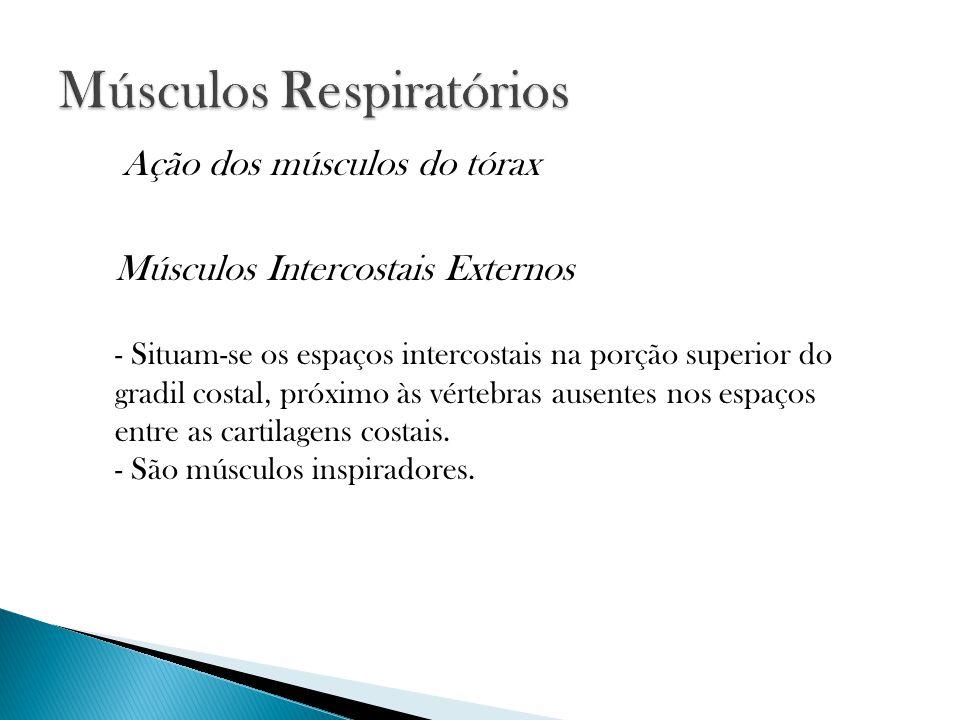 Músculos Intercostais Externos - Situam-se os espaços intercostais na porção superior do gradil costal, próximo às vértebras ausentes nos espaços entre as cartilagens costais.