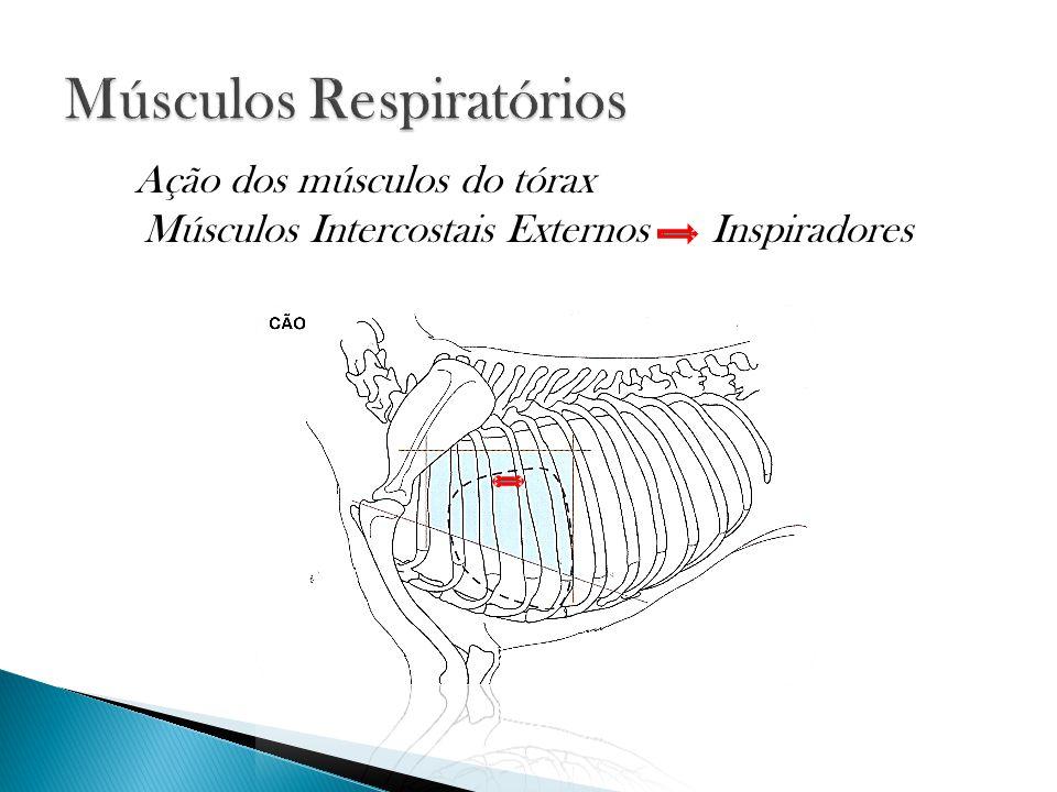 Músculos Intercostais Externos Inspiradores Ação dos músculos do tórax