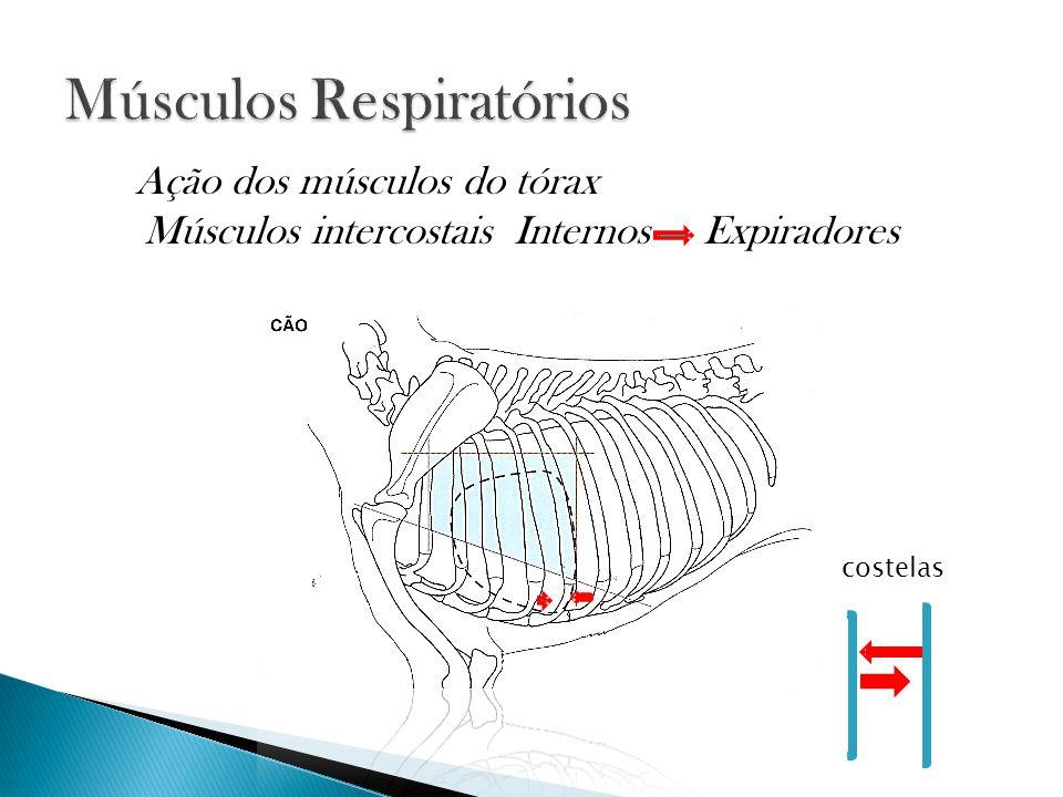 Músculos intercostais Internos Expiradores Ação dos músculos do tórax costelas