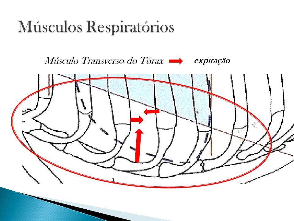 expiração Músculo Transverso do Tórax