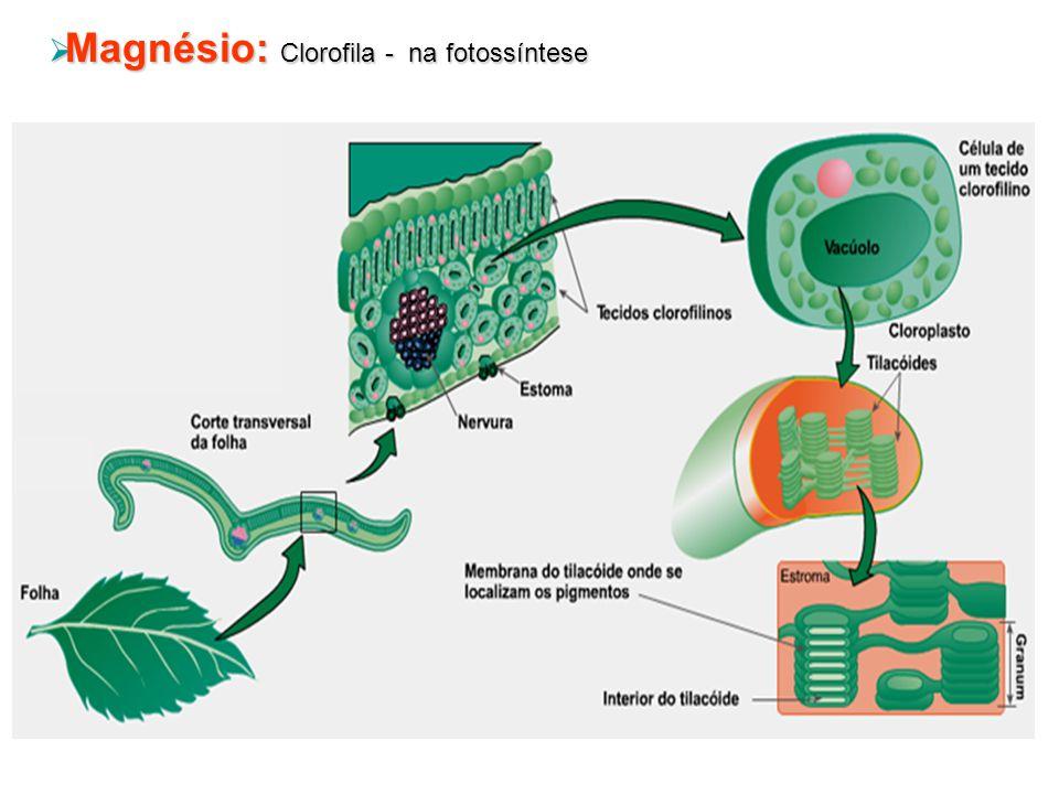 Magnésio: Clorofila - na fotossíntese Magnésio: Clorofila - na fotossíntese