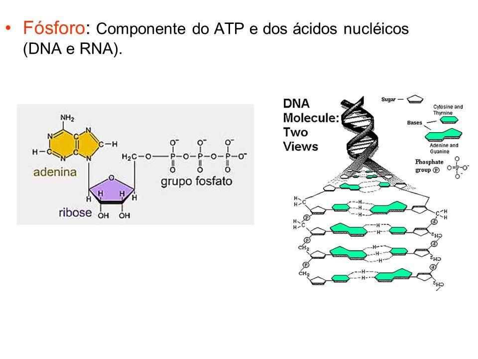 Fósforo: Componente do ATP e dos ácidos nucléicos (DNA e RNA).