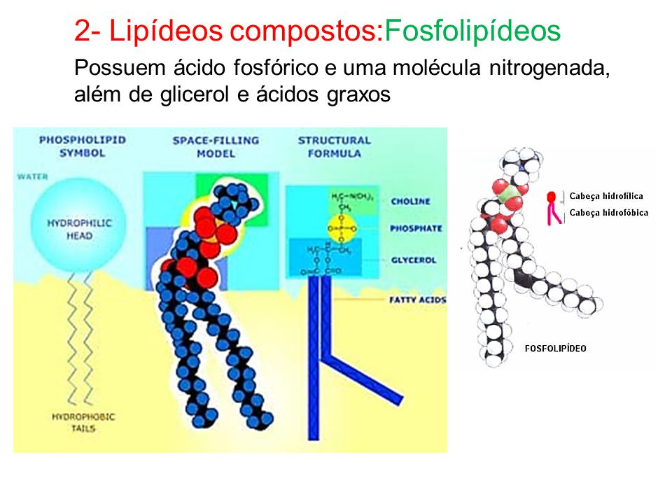 2- Lipídeos compostos:Fosfolipídeos Possuem ácido fosfórico e uma molécula nitrogenada, além de glicerol e ácidos graxos