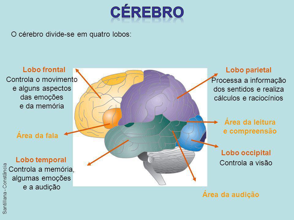 O cérebro divide-se em quatro lobos: Processa a informação dos sentidos e realiza cálculos e raciocínios Controla o movimento e alguns aspectos das em
