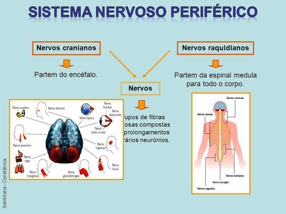 Nervos cranianos Nervos raquidianos Partem do encéfalo. Partem da espinal medula para todo o corpo. Nervos Grupos de fibras nervosas compostas por pro