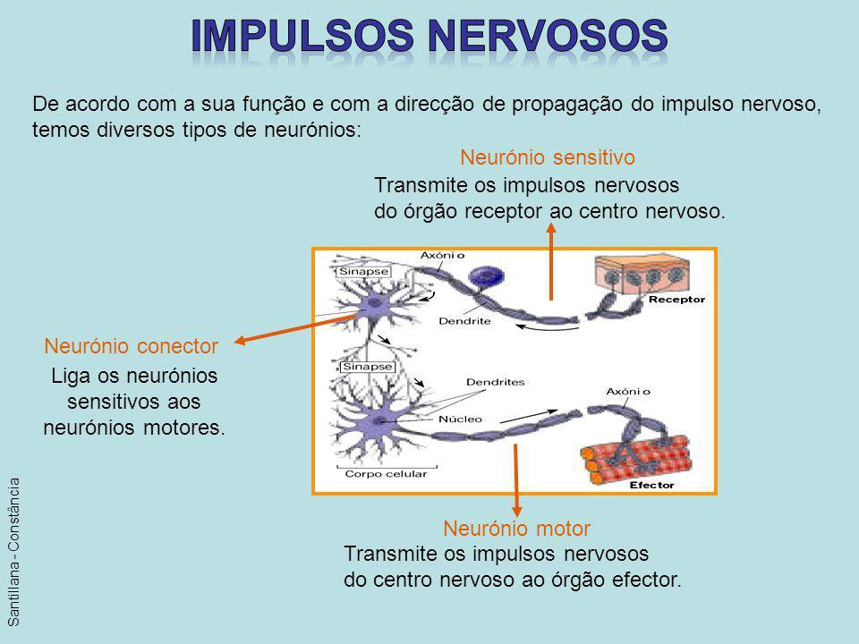 De acordo com a sua função e com a direcção de propagação do impulso nervoso, temos diversos tipos de neurónios: Neurónio sensitivo Neurónio conector