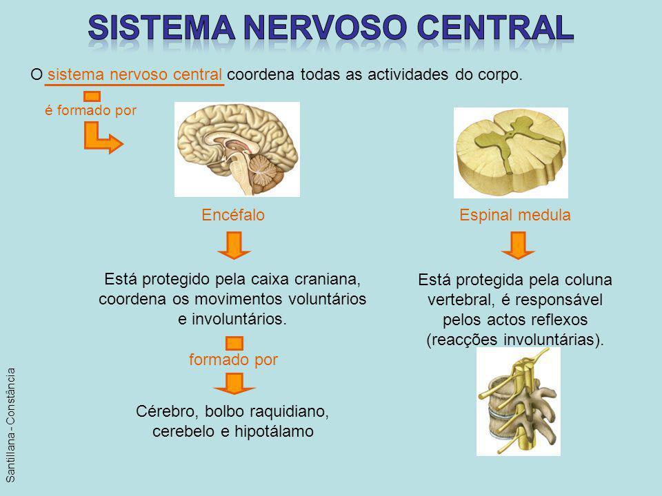 O sistema nervoso central coordena todas as actividades do corpo. é formado por Está protegido pela caixa craniana, coordena os movimentos voluntários
