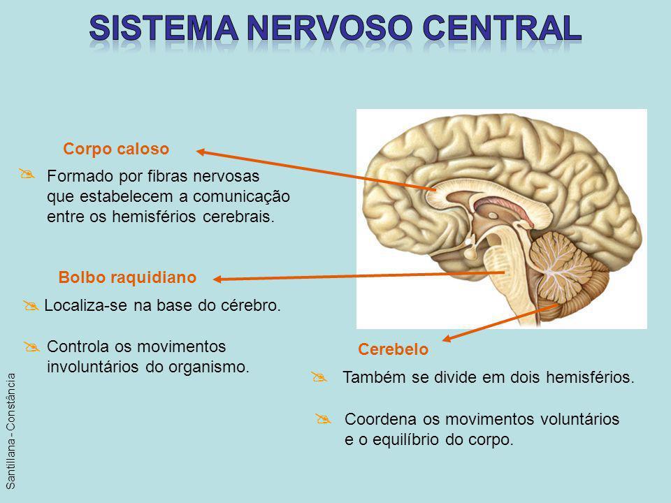 Bolbo raquidiano Localiza-se na base do cérebro. Controla os movimentos involuntários do organismo. Corpo caloso Formado por fibras nervosas que estab