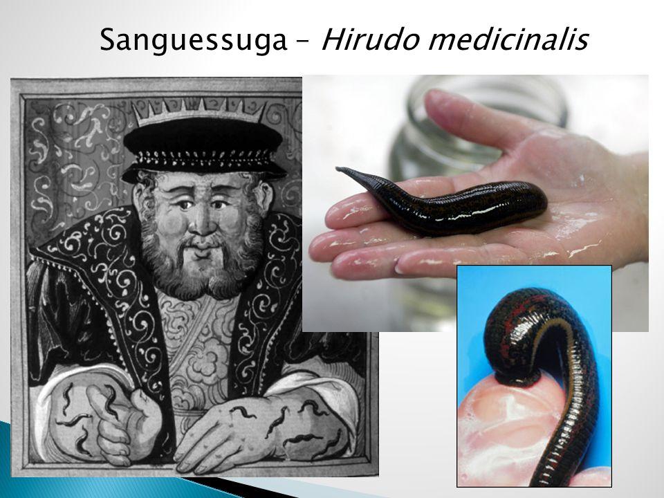 Sanguessuga – Hirudo medicinalis