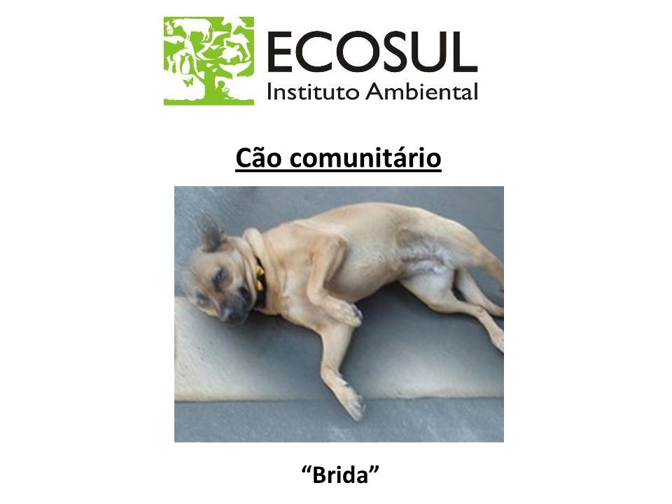 Cão comunitário Brida