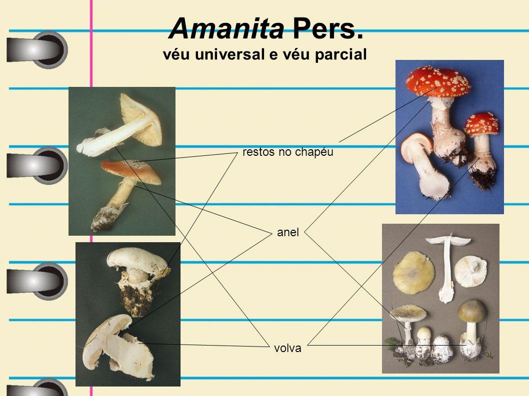 Amanita Pers. volva véu universal e véu parcial anel restos no chapéu