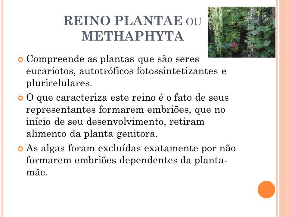REINO PLANTAE OU METHAPHYTA Compreende as plantas que são seres eucariotos, autotróficos fotossintetizantes e pluricelulares. O que caracteriza este r