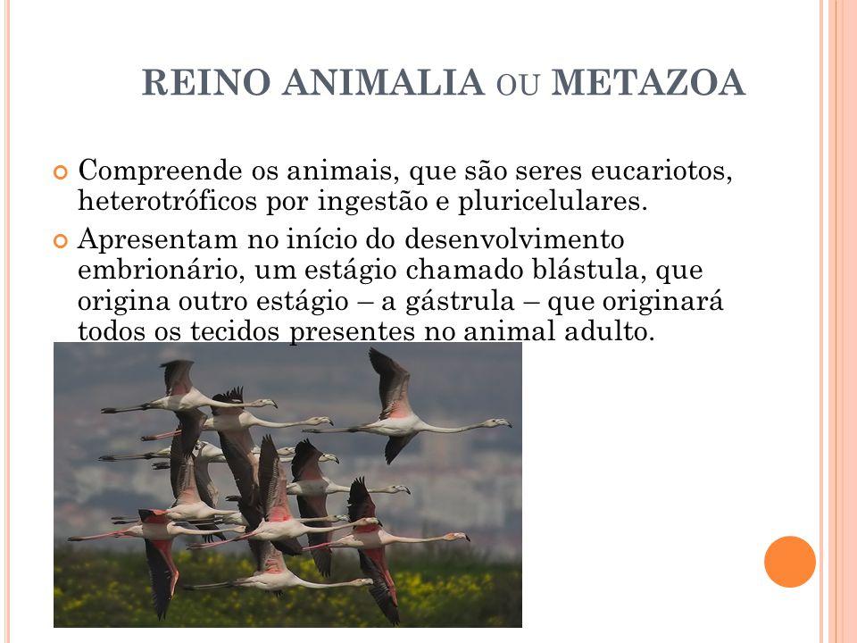 REINO ANIMALIA OU METAZOA Compreende os animais, que são seres eucariotos, heterotróficos por ingestão e pluricelulares.