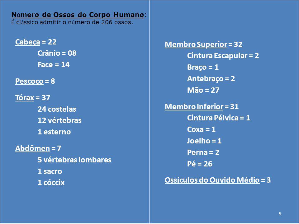 Cabeça = 22 Crânio = 08 Face = 14 Pescoço = 8 Tórax = 37 24 costelas 12 vértebras 1 esterno Abdômen = 7 5 vértebras lombares 1 sacro 1 cóccix Membro S