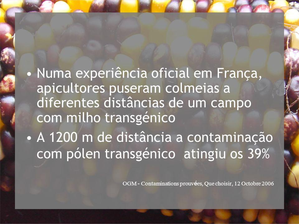 Numa experiência oficial em França, apicultores puseram colmeias a diferentes distâncias de um campo com milho transgénico A 1200 m de distância a contaminação com pólen transgénico atingiu os 39% OGM - Contaminations prouv é es, Que choisir, 12 Octobre 2006
