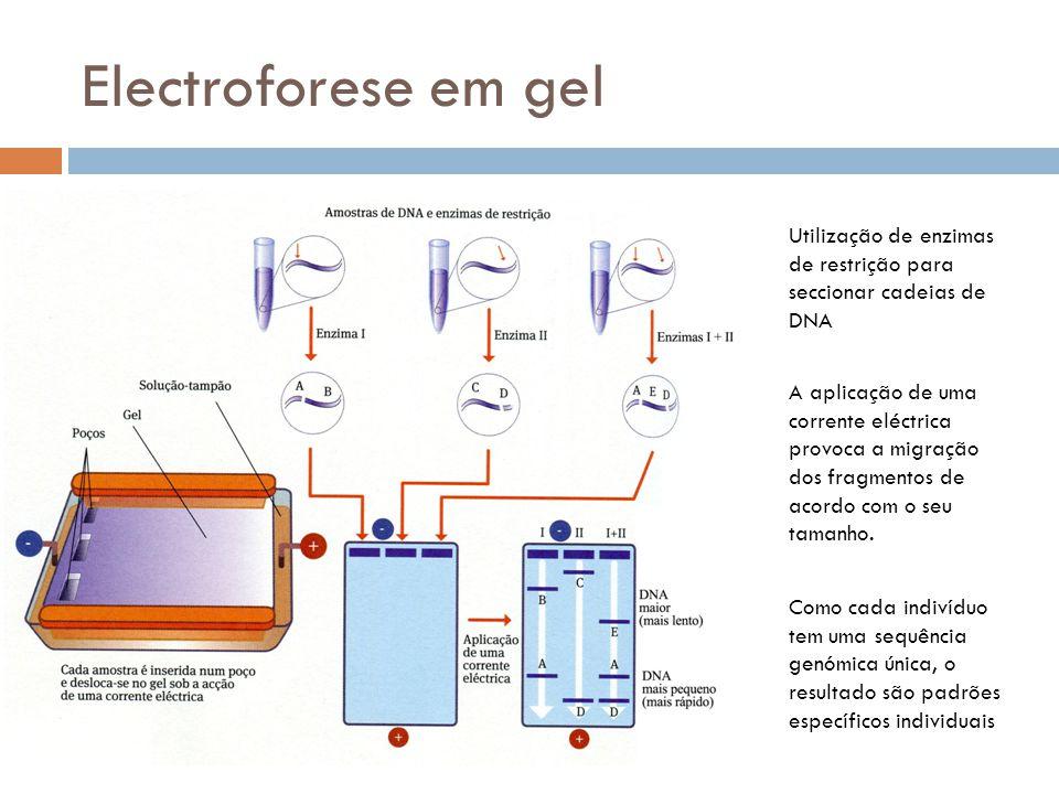 Electroforese em gel Utilização de enzimas de restrição para seccionar cadeias de DNA Como cada indivíduo tem uma sequência genómica única, o resultad