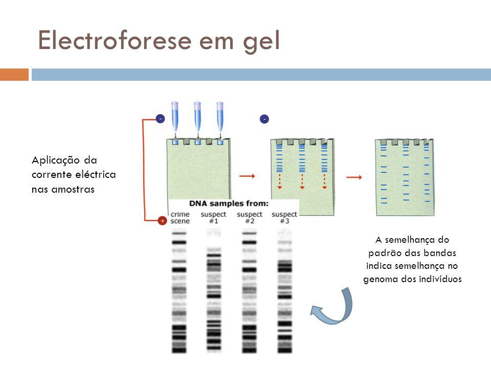 Electroforese em gel Aplicação da corrente eléctrica nas amostras A semelhança do padrão das bandas indica semelhança no genoma dos indivíduos