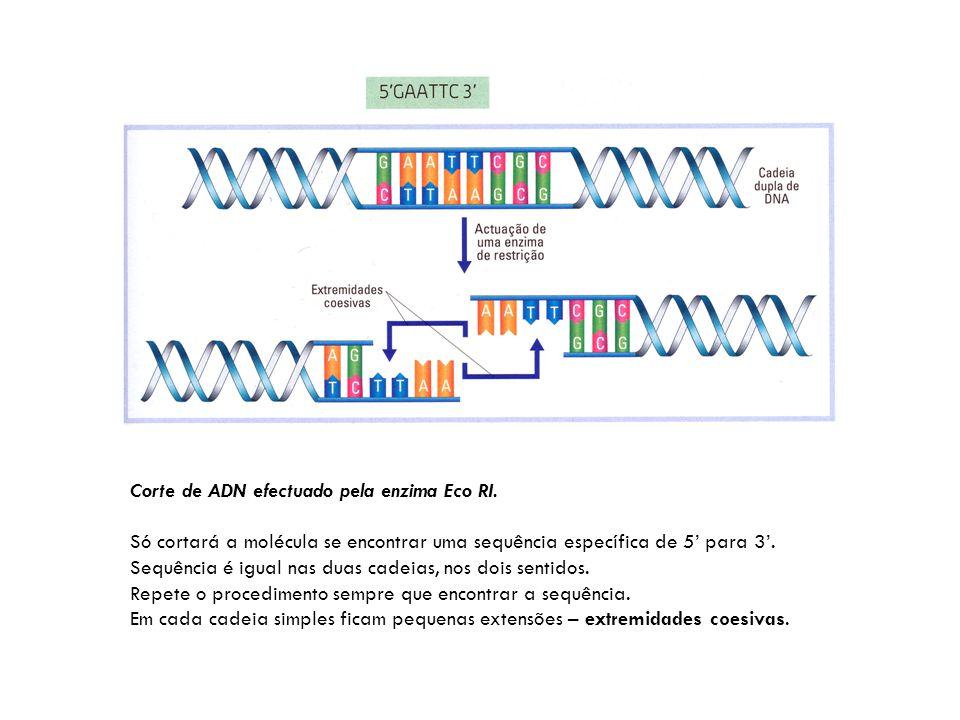 Corte de ADN efectuado pela enzima Eco RI. Só cortará a molécula se encontrar uma sequência específica de 5' para 3'. Sequência é igual nas duas cadei