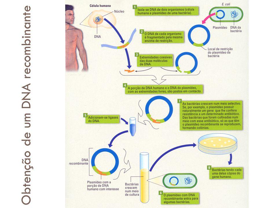 Obtenção de DNA recombinante Obtenção de um DNA recombinante
