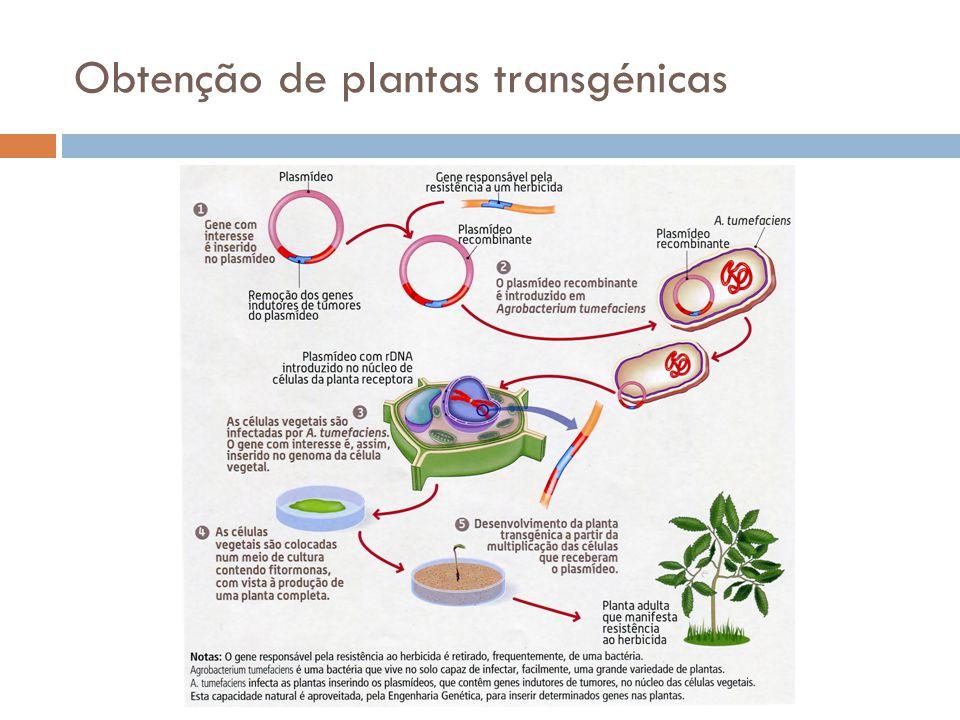 Obtenção de plantas transgénicas