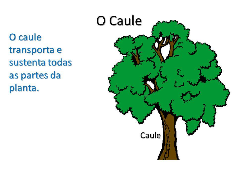O Caule O caule transporta e sustenta todas as partes da planta. Caule