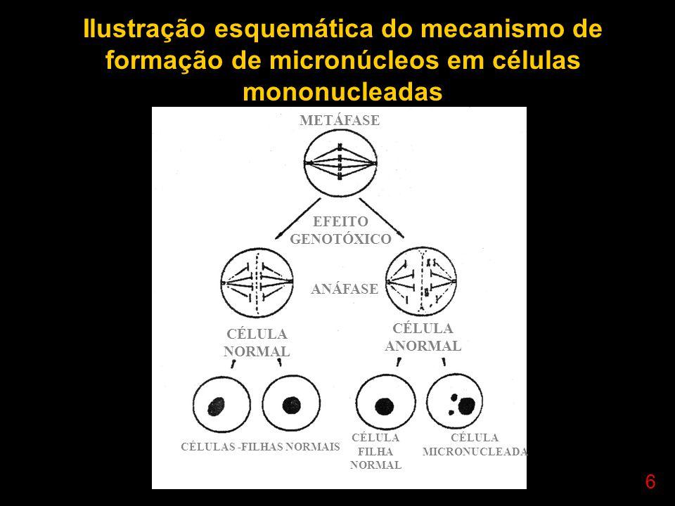 7 Fenech & Morley (1985) – cytokinesis block method Citocalasina B – Helminthosporum dematoideum inibe a citocinese, mas não a carciocinese célula binucleada (1 divisão nuclear) Cultivo: adição de cito B, 44 horas após tratamento isotônico – preservação do citoplasma para cada dose – 500 células binucleadas Desvantagem- não oferece toda a informação - 10 a 12 MN / 1000 binucleadas Vantagens- relativamente simples e sensível - análise mais rápida - bom indicador de dano genético - magnitude do dano ocorrido Professor Rodrigo Penna www.fisicanovestibular.com.br