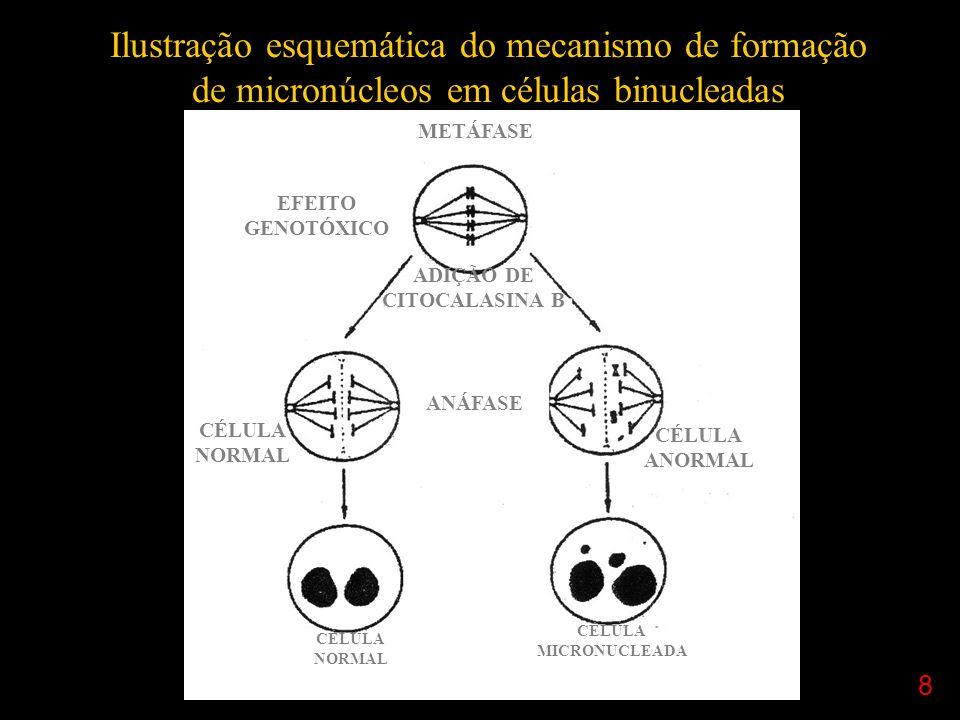 8 Ilustração esquemática do mecanismo de formação de micronúcleos em células binucleadas METÁFASE EFEITO GENOTÓXICO ANÁFASE CÉLULA NORMAL CÉLULA ANORMAL CÉLULA MICRONUCLEADA CÉLULA NORMAL ADIÇÃO DE CITOCALASINA B