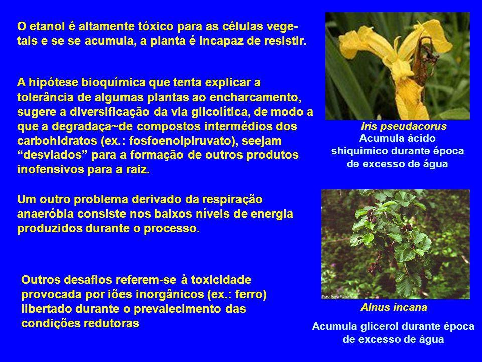 O etanol é altamente tóxico para as células vege- tais e se se acumula, a planta é incapaz de resistir. Iris pseudacorus A hipótese bioquímica que ten