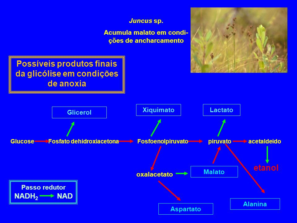 Juncus sp. Acumula malato em condi- ções de ancharcamento Glucose Fosfato dehidroxiacetona Fosfoenolpiruvato piruvato acetaldeido Glicerol XiquimatoLa