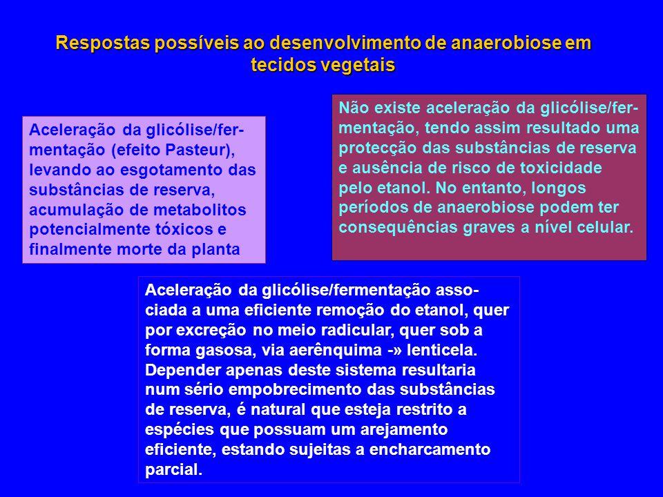 Respostas possíveis ao desenvolvimento de anaerobiose em tecidos vegetais Aceleração da glicólise/fer- mentação (efeito Pasteur), levando ao esgotamen