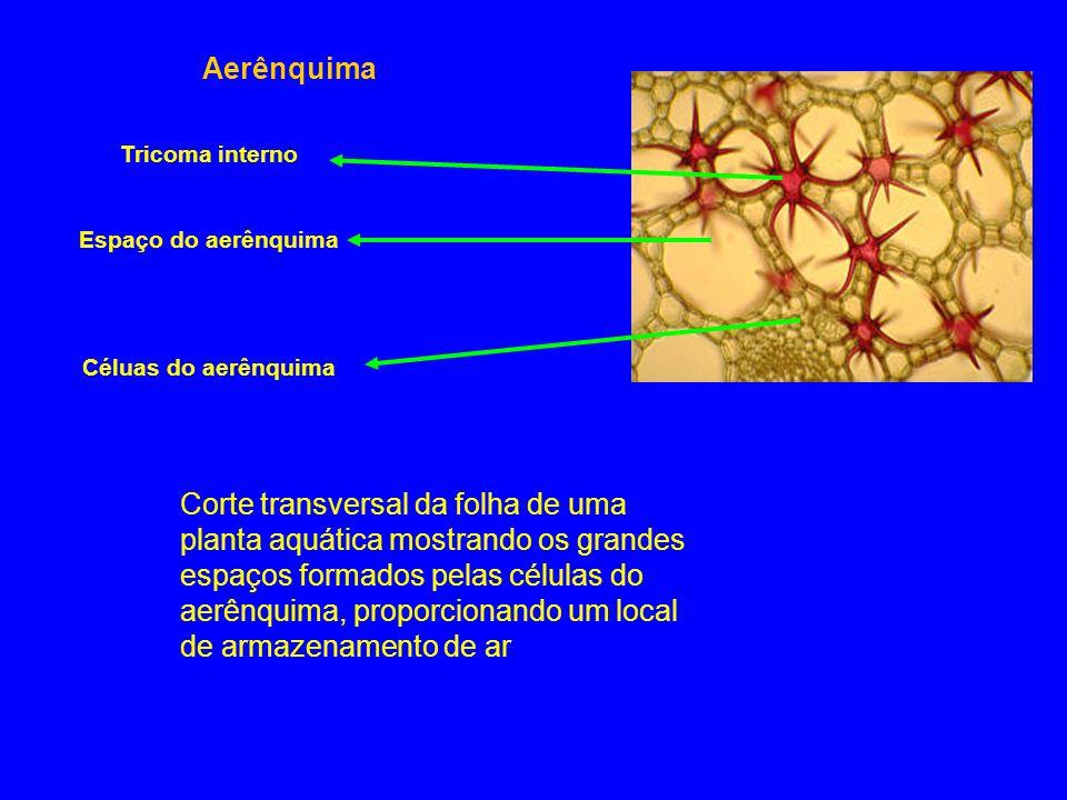 Aerênquima Corte transversal da folha de uma planta aquática mostrando os grandes espaços formados pelas células do aerênquima, proporcionando um loca