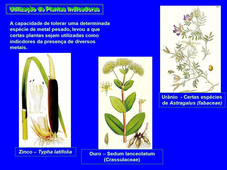 Utilização de Plantas Indicadoras A capacidade de tolerar uma determinada espécie de metal pesado, levou a que certas plantas sejam utilizadas como in