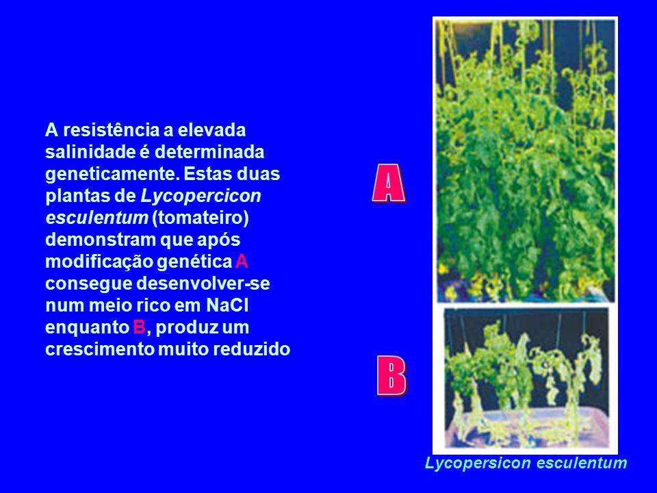 A resistência a elevada salinidade é determinada geneticamente. Estas duas plantas de Lycopercicon esculentum (tomateiro) demonstram que após modifica