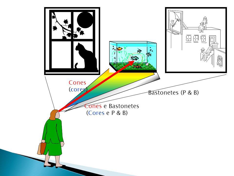 Bastonetes (P & B) Cones e Bastonetes (Cores e P & B) Cones (cores)