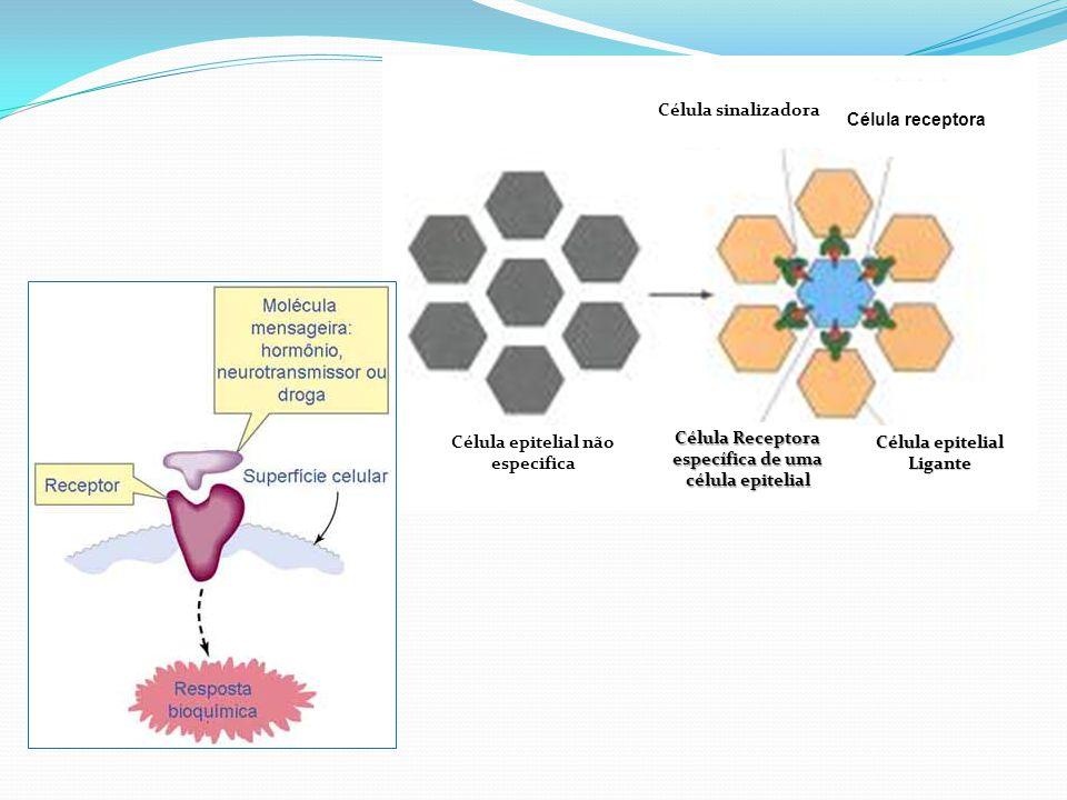 Célula epitelial não especifica Célula Receptora específica de uma célula epitelial Célula epitelial Ligante Célula sinalizadora Célula receptora