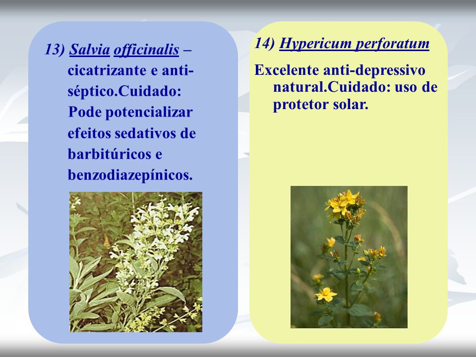 13) Salvia officinalis – cicatrizante e anti- séptico.Cuidado: Pode potencializar efeitos sedativos de barbitúricos e benzodiazepínicos. 14) Hypericum