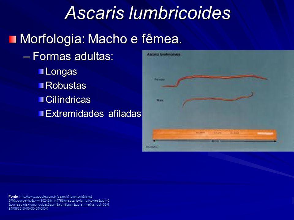 Ascaris lumbricoides Morfologia: Macho 20 a 30 cm de comprimento Cor leitosa Boca na extremidade anterior com três fortes lábios com serrilha de dentículos.