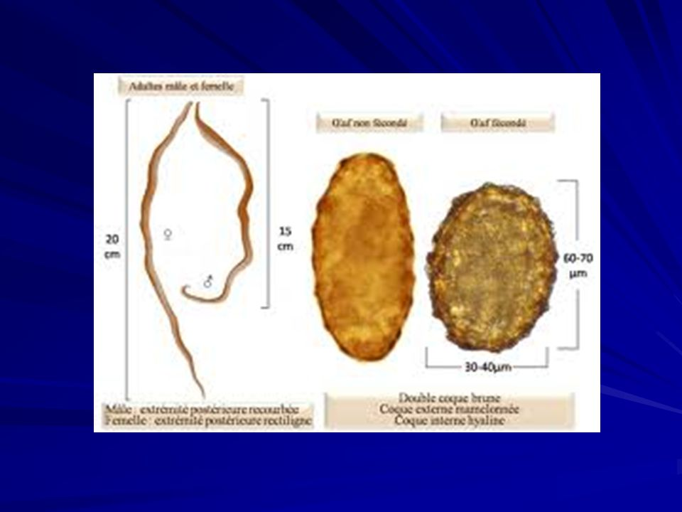 Ascaris lumbricoides Ciclo Biológico Possui ciclo pulmonar (Loss) Fonte: http://www.cdc.gov/parasites/ascariasis/biology.htmlhttp://www.cdc.gov/parasites/ascariasis/biology.html