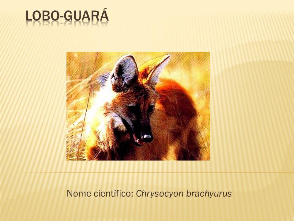  Tem a aparência de uma raposa;  O focinho, a cauda e a parte inferior das pernas são negros;  Ele tem o corpo coberto de pelos cor de ferrugem;  Tem orelhas empinadas;  O guará é manso, ágil e veloz;  Quando adulto, pesa 30 kg; o filhote pesa 350 g;  Altura: 87 cm;  Vive em campos.