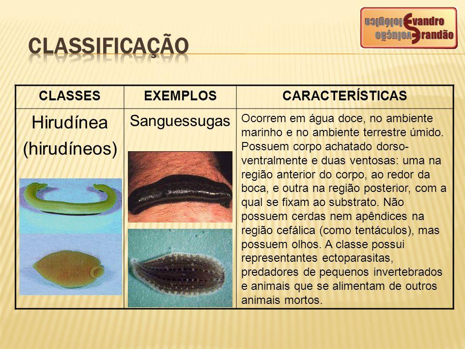 CLASSESEXEMPLOSCARACTERÍSTICAS Hirudínea (hirudíneos) Sanguessugas Ocorrem em água doce, no ambiente marinho e no ambiente terrestre úmido. Possuem co