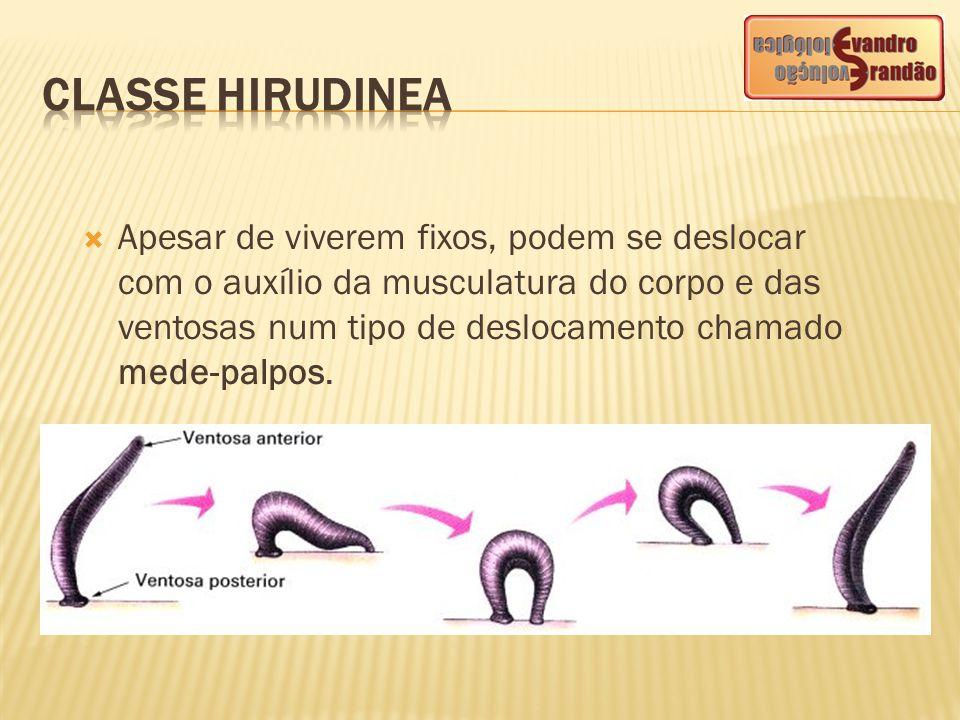  Apesar de viverem fixos, podem se deslocar com o auxílio da musculatura do corpo e das ventosas num tipo de deslocamento chamado mede-palpos.