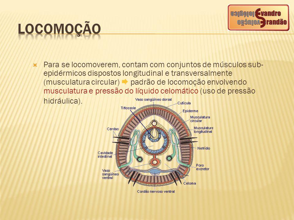 Para se locomoverem, contam com conjuntos de músculos sub- epidérmicos dispostos longitudinal e transversalmente (musculatura circular)  padrão de