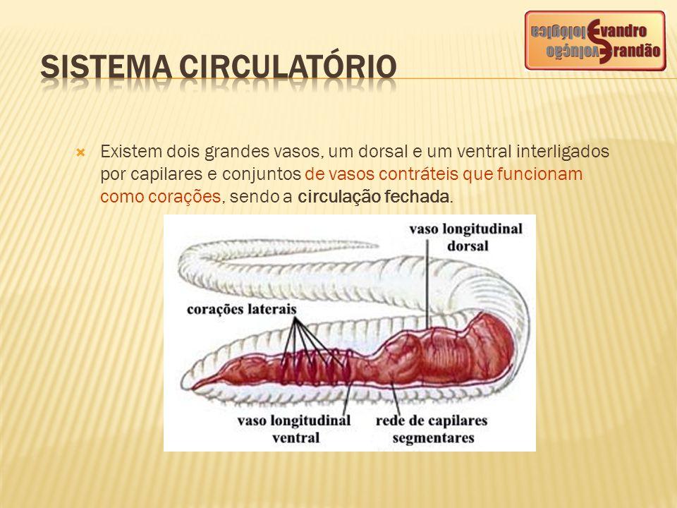  Existem dois grandes vasos, um dorsal e um ventral interligados por capilares e conjuntos de vasos contráteis que funcionam como corações, sendo a c