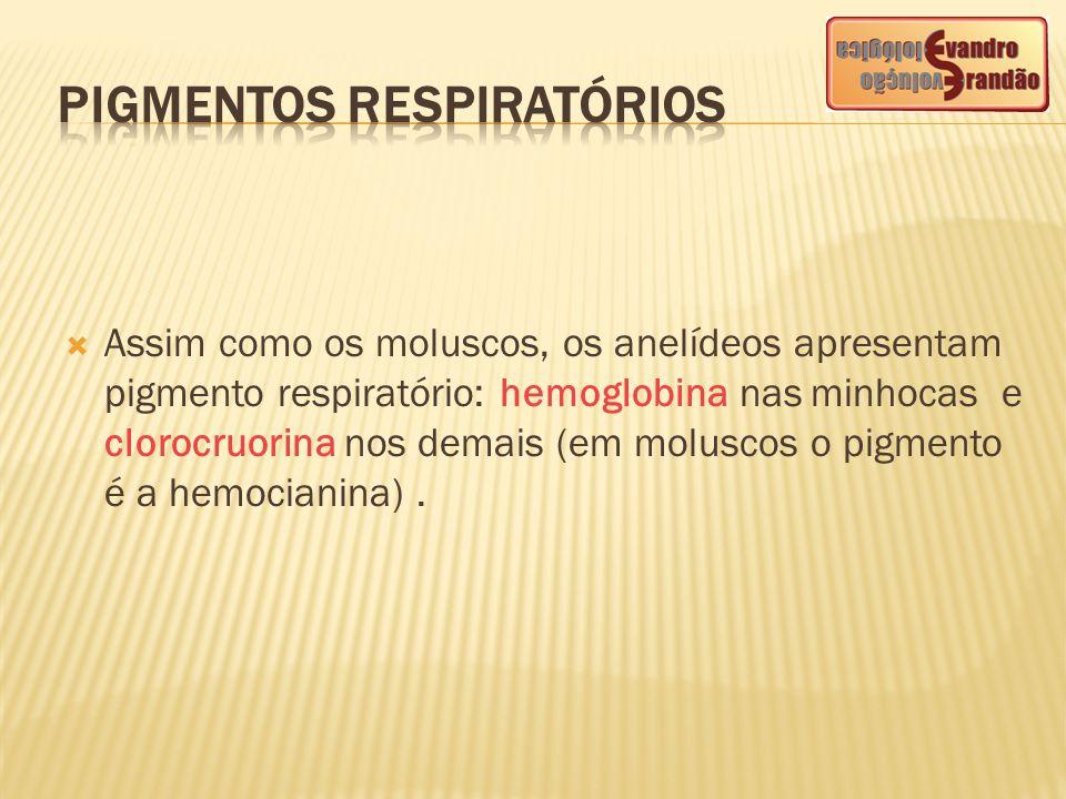  Assim como os moluscos, os anelídeos apresentam pigmento respiratório: hemoglobina nas minhocas e clorocruorina nos demais (em moluscos o pigmento é