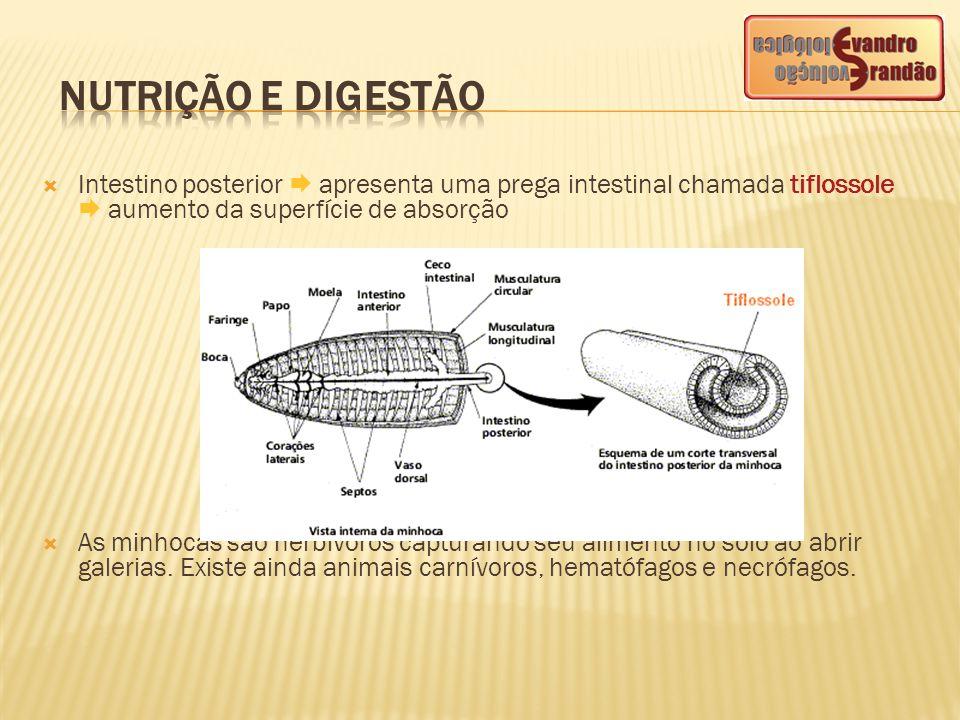  Intestino posterior  apresenta uma prega intestinal chamada tiflossole  aumento da superfície de absorção  As minhocas são herbívoros capturando