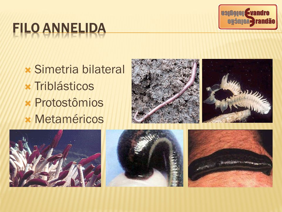  Estruturas excretoras: metanefrídeos ou simplesmente nefrídeos (exceto alguns poliquetas que apresentam protonefrídeos)  retiram excretas do sangue e do celoma.